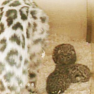 Cubs in nest box with their mother